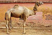 portrait of a camel - Vivek Sharma