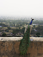 peacock on ledge - Alex Mares-Manton