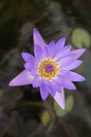 Lotus flower in full bloom - Yukmin