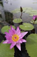 Lotus flowers - Yukmin