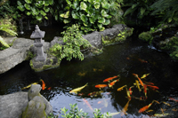 Koi fish in pond - Nugene Chiang