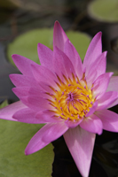 Lotus flower in full bloom - Yukmin