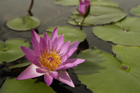 Lotus flowers - Yukmin