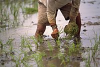 Farmer planting at the paddy field, Cagayan Valley, Philippines - OTHK