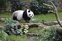 Panda at Ocean Park, Hong Kong - OTHK