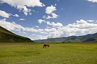 Horses in meadow, shangri la, shangrila, China - OTHK