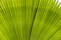 Close up of green Palm leave - Yukmin