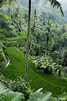 terraced rice paddies, Ubud, Bali - Alex Mares-Manton