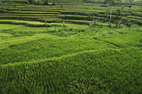 terraced rice paddies, Bali - Alex Mares-Manton