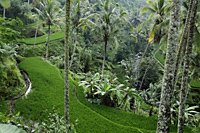 terraced rice paddies, Ubud Bali - Alex Mares-Manton