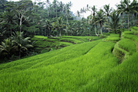 terraced rice paddies Ubud, Bali - Alex Mares-Manton