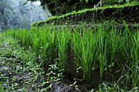 close up of rice plants - Alex Mares-Manton