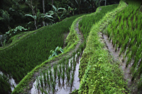 close up of  terraced rice paddies - Alex Mares-Manton