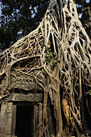 Roots growing over the ruins of Angkor Wat, Cambodia - Alex Mares-Manton