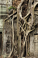 roots growing over the walls of Angkor Wat - Alex Mares-Manton