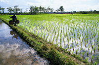 Thailand,Chiang Mai,Farmer and Rice Paddy Fields - Travelasia