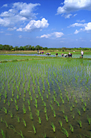 Thailand,Chiang Mai,Rice Paddy Fields - Travelasia