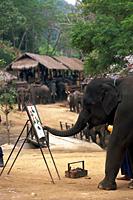 Thailand,Chiang Mai,Mae Sa Elephant Camp,Elephant Show,Elephant Painting with Trunk - Travelasia