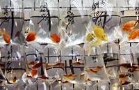 Different colored fish in plastic bags - Alex Mares-Manton