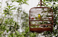 Wicker bird cage with yellow bird hanging in tree - Alex Mares-Manton