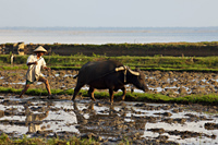 Vietnam,Farmer and Buffalo in Paddy Field - Travelasia