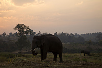 Thailand,Golden Triangle,Chiang Mai,Elephants at Dawn - Travelasia