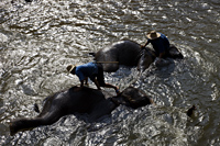 Thailand,Chiang Mai,Elephant Camp,Elephants Bathing - Travelasia