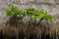 frangipani tree in front of thatched roof - Alex Mares-Manton