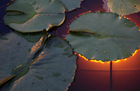 Large lilly pad with light glowing from behind - Alex Mares-Manton