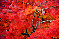 Leaves changing color to red and yellow during Autumn - Travelasia