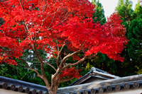 Tree with red leaves in front of Japanese temple roof - Travelasia