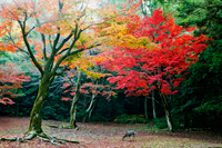 Deer eating grass with trees with Autumn leaves in background. Japan - Travelasia