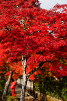 woman wearing red Kimono and holding red umbrella under tree with red leaves. - Travelasia
