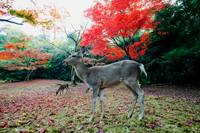 Deers in front of  trees with red leaves. Miyajima Island, Omoto Park. Japan - Travelasia