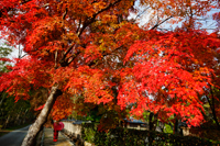 Woman wearing red Kimono holding red umbrella walking under trees with red leaves - Travelasia