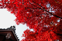 Top o Temple roof with tree with red leaves - Travelasia
