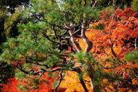 Arashiyama, Autumn Leaves. Kyoto, Japan - Travelasia