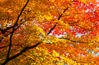 Yellow and red leaves changing color during Autumn. - Travelasia