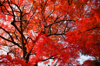 Tree with red and orange leaves - Travelasia
