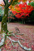 Deer eating grass under tree with red Autumn leaves Japan,Miyajima Island,Omoto Park. - Travelasia