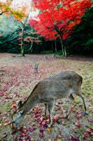 Deers eating grass in front of trees with red leaves. ,Miyajima Island, Omoto Park. Japan - Travelasia