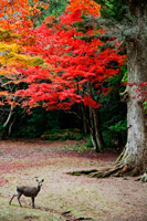 Deer in front of trees with red leaves. Miyajima Island,Omoto Park.Japan - Travelasia