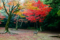 Deer in forest in front of trees with Autumn leaves. Miyajima Island, Omoto Park. Japan - Travelasia