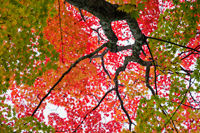 low angle of tree with multi colored leaves - Travelasia