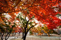Gyerim Forest, Autumn Foliage, Korea,Gyeongju, - Travelasia