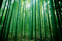 light streaming through bamboo forest - Travelasia