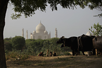 Indian family making mud bricks near cows, Taj Mahal in the background. Agra, India - Alex Mares-Manton