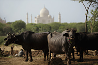 A group of cows with the Taj Mahal in the background. Agra, India - Alex Mares-Manton