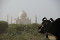 Closeup of a cow with the Taj Mahal in the background. Agra, India - Alex Mares-Manton