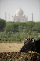 Close up of a cow in a field with the Taj Mahal in back ground. Agra, India - Alex Mares-Manton